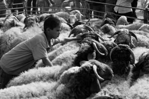 bedouin sheep market